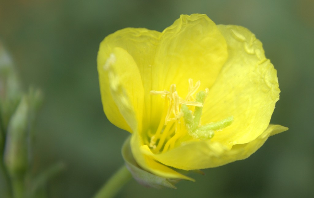 Chiffon yellow evening primrose blooms at twilight chiffon yellow common evening primrose flower mightylinksfo