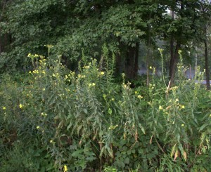Weedy-Looking Common Evening Primrose
