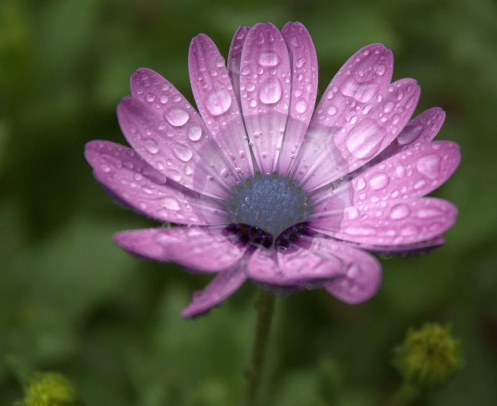 Daisy After the Rain