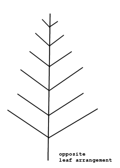 Whorled leaf arrangement