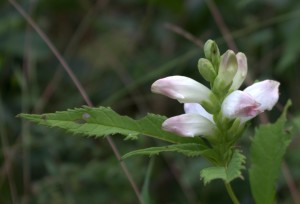 Turtlehead Flowers With Toothed Leaves