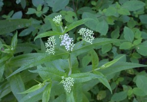 Boneset plant just starting to open its flowers. Note the opposite leaves attached to each other at the base. (Photo taken 13 August 2015.)