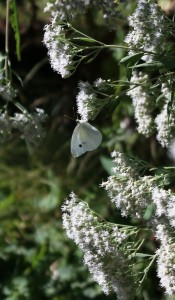Late-Flowering Thoroughwort Attracts Cabbage Butterflies