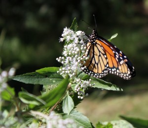 Late-Flowering Thoroughwort Attracts Monarch Butterflies