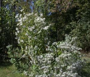 Shrub-like Late-Flowering Thoroughwort