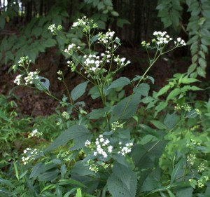White Snakeroot plant flowering. Note the broad leaves with petioles. (Photo taken 12 August 2015.)