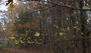 Witch Hazel Trees Bloom in October/November