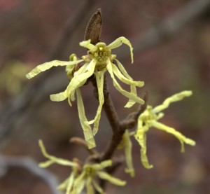 Yellow Strap-like Petals of Witch Hazel Flowers