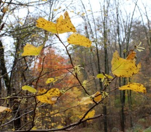 Blooming Witch Hazel Blends With Yellow and Orange Leaves in the Background