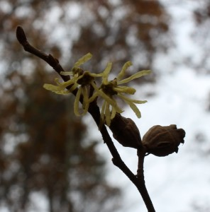 A Pair of Witch Hazel Nuts with New Flowers