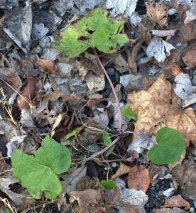 Coltsfoot in the Lane Growing New Leaves