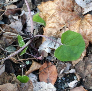 New Leaves of Coltsfoot in the Lane