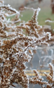 Elongated Ice Crystals Growing on Weeds