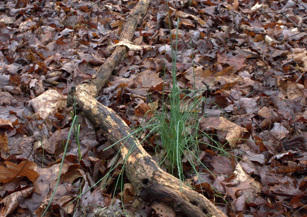 Wild Chive Plants Grow In The Appalachian Forest