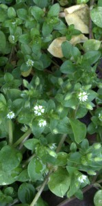Chickweed Appears to Have 10 Petals