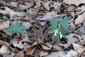Cut-Leaved Toothwort Blooms