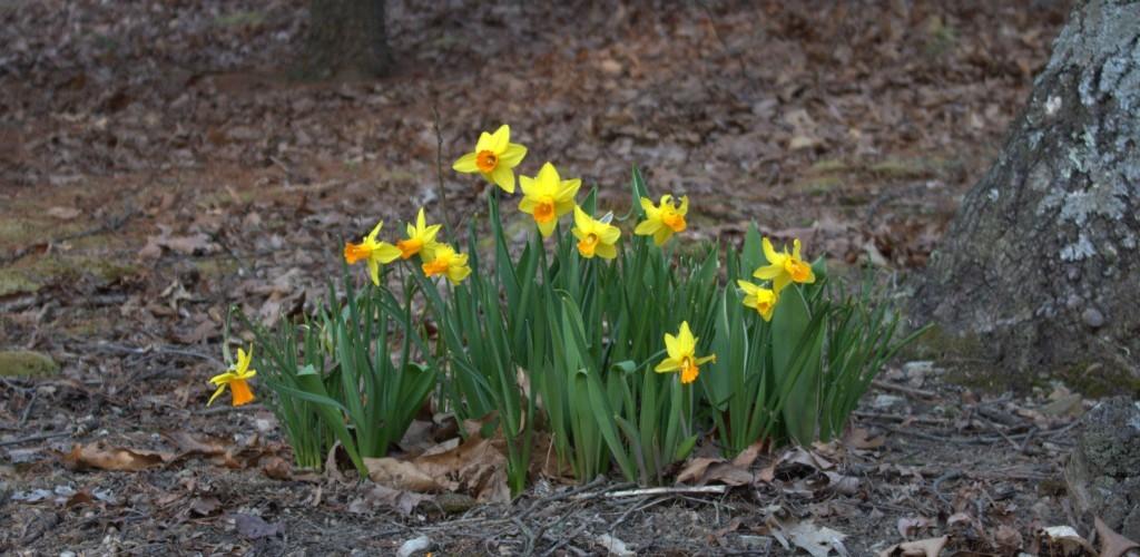 Daffodils in Yellow and Orange
