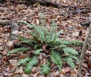 Big Frond Fern In The Oak Forest