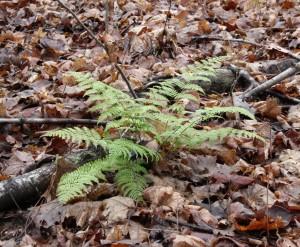 Feather Wand Fern Growing on the Mountain Ridge