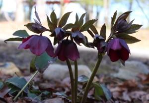 Blooming Maroon Hellebore