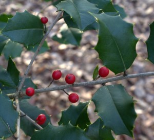 Red Holly Berries Last to Spring