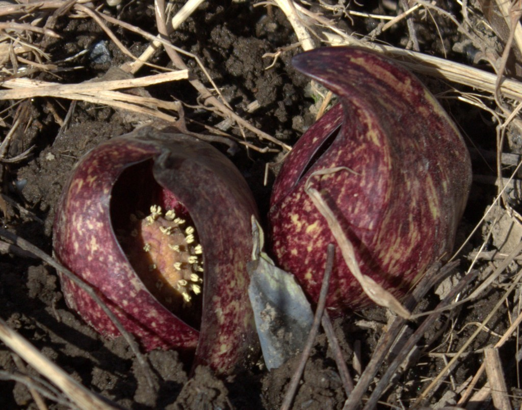 Skunk Cabbage Flowers Hidden in Its Spathe