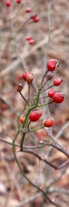 Red Rose Hips on Green Stems