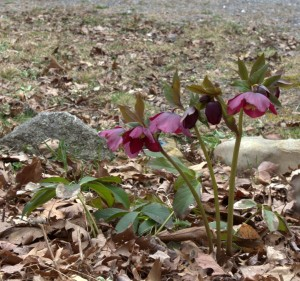 Hellebore Flowers Growing Taller