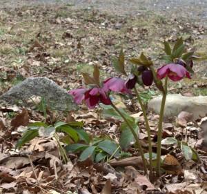 Hellebore Flowers Growing Taller