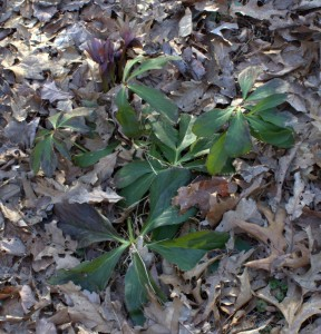 Perennial Hellebore Plant With Evergreen Leaves