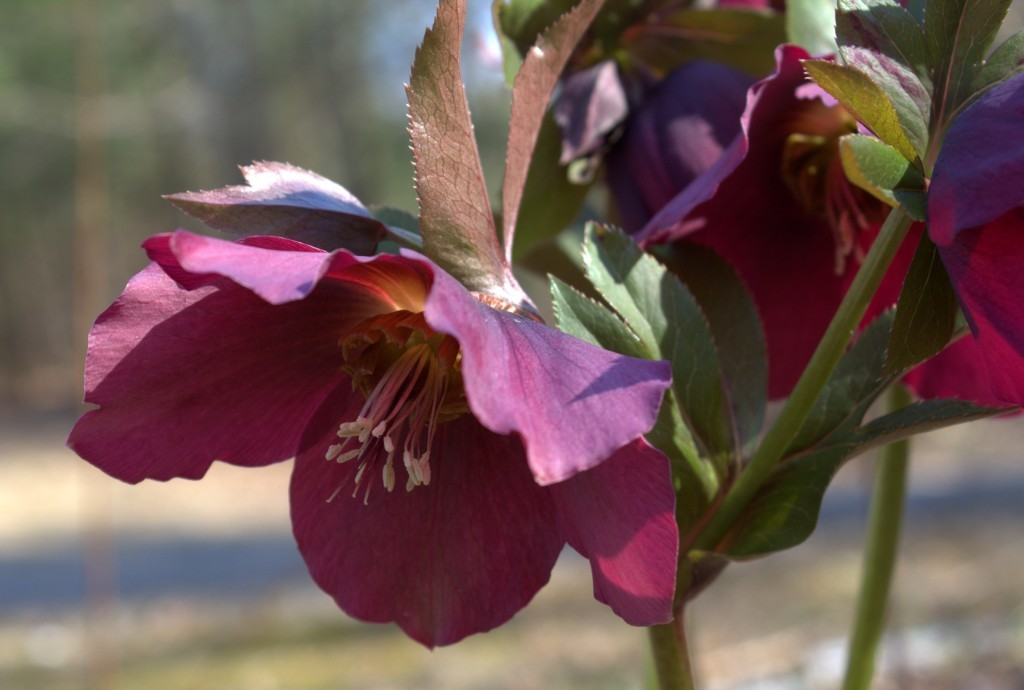 Hellebore of the Buttercup Family