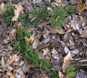 Tree Clubmoss Growing Near Ground Cedar