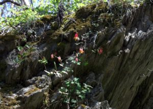 Wild Red Columbine Blooming On A Rock