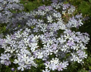 Many Flowers of Wildphlox