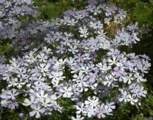 Many Flowers of Wildphlox