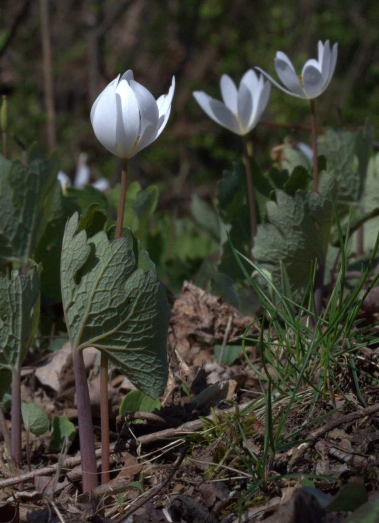 Separate Stalks for Bloodroot Flower and Leaf