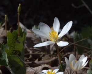 Elongated Stamens of Mature Bloodroot Flower