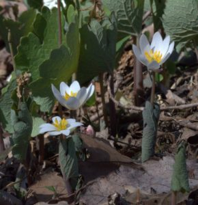 Bloodroot Flowers with Pink Bud