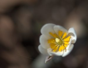 Paddle-Shaped Yellow Stamens of Bloodroot