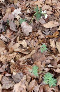 Six Plants of Cut-Leaved Toothwort