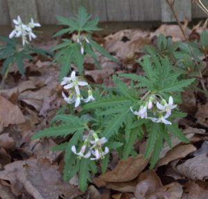 Cut-Leaved Toothwort Blooming