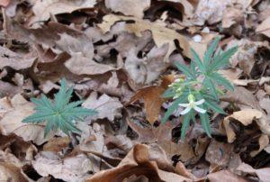 Cut-Leaved Toothwort First Flower