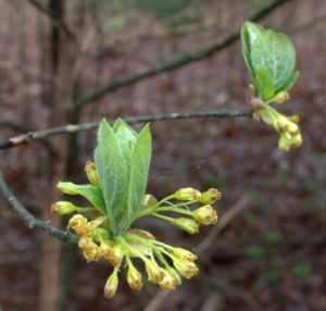 Spent Sassafras Flowers Surround the Developing Leaves