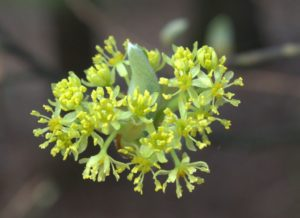Male Flowers of the Sassafras Tree