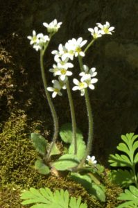Early Saxifrage Plant a Few Inches Tall