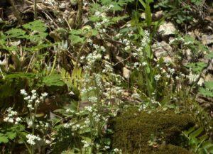 Saxifrage Flowers In Rocky Hillside