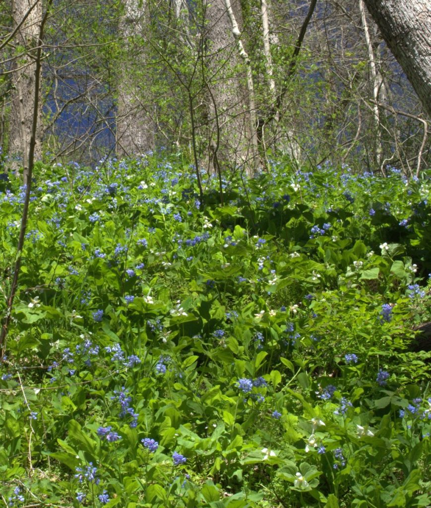 Trillium & Bluebells On The Hillside