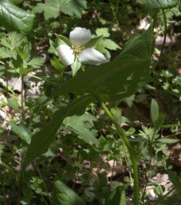 Small White Trillium