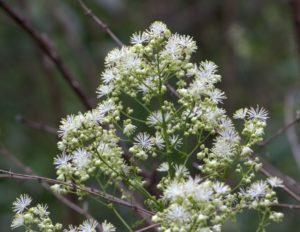 Tall Meadow-Rue in Flower