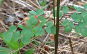 Tall Meadow-Rue Compound Leaves